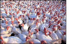 Bird Flu in Mexico